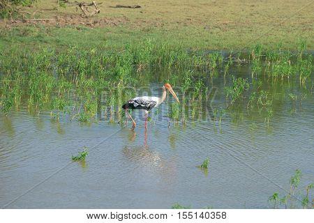 The Indian marabou on the shallow lake. National park Yala, Sri Lanka