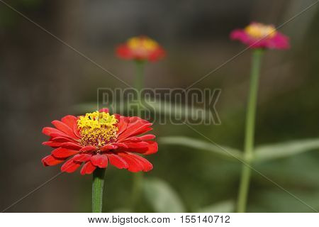 Red zinnia in garden with another zinnia in background