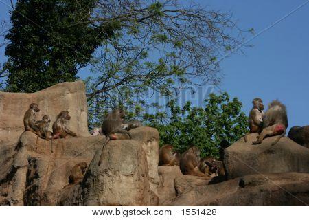 Baboons On Monkey-Rock