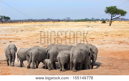 Herd of African Elephants surround a waterhole with the dry african plains in the background
