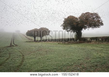 Starling Murtmuration In Foggy Misty Autumn Morning Landscape In British Countryside