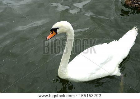A beautiful white Mute swan (Cygnus olor)
