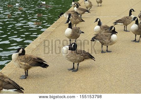 A group of Canada Geese (Branta Canadensis)