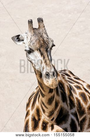Portrait of Rothschild's giraffe - Giraffa camelopardalis rothschildi. Animal scene. Beauty in african nature. Vertical composition.