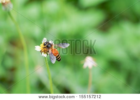 Bee on white flower collecting pollen suck nectar