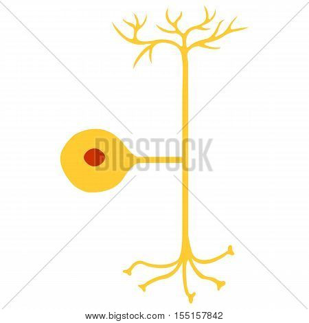 Pseudo-unipolar neuron, Nerve Cell Neuron, isolated on white background