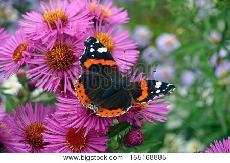Close view of a red admiral butterfly (Vanessa atalanta) feeding on pink aster flowers with wings open.