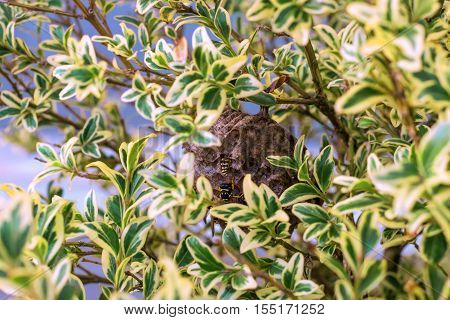 Vespiary. Wasps have placed him in the branches of a bush. For leaves it unobtrusively.