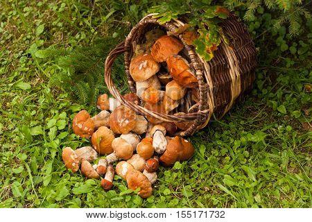 Fresh Edible Mushrooms Boletus Edubil In Wicker Basket On Green Grass In Forest Top View. Harvesting Mushrooms. Forest Edible Mushrooms In Basket.