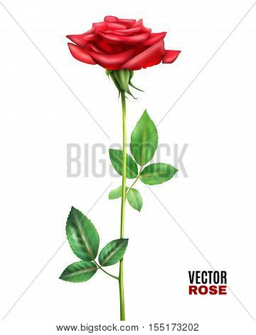 Beautiful blooming red rose flower with stalk and green leaves on white background realistic vector illustration