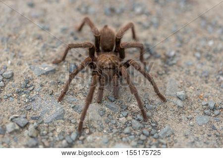 Tarantula (Aphonopelma) in mating season. Contra Costa County, California, USA, Fall 2016