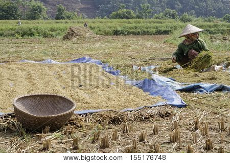 Lao Cai, Vietnam, October 24, 2016 : Farmers Proceed To The Harvest Of The Rice In The Paddy Fields