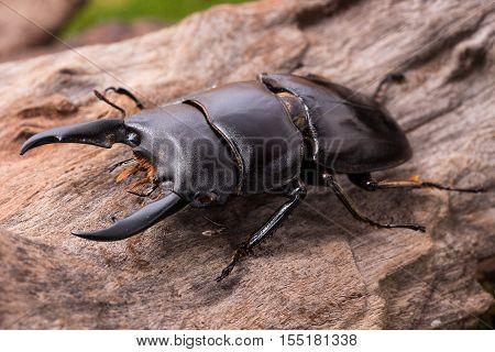 Stag Beetle (serrognathus Lineatopunctatus Lineatopunctatus) Insect