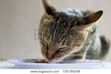 Domestic cat eating cat's food from white plate. Close-up photo of cute and lovely pet. Feeding the animal in the house. Feline face closeup image for background or banner template with text place