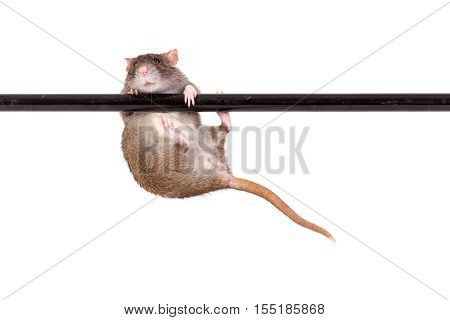 domestic rat on black crossbar isolated on white
