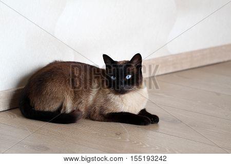 Pets / Portrait of a beautiful purebred housecat