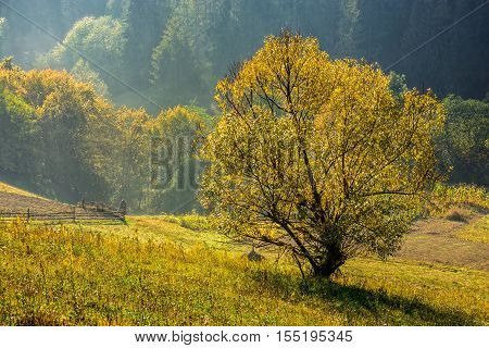 Yellow Tree In Front Of Spruce Forest In Fog