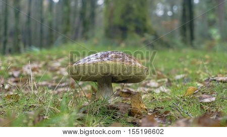 Giant wild mushroom in the forest with green grass and autumn leafs aroun