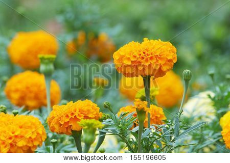 Marigold flowers and buds in the garden; side view
