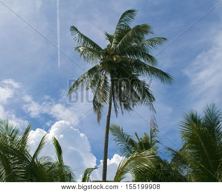 Palm and plane trace in blue sky. Tropical landscape with greenery. Skyscape with clouds. Coco palm tree silhouette. Exotic garden in daylight. Summer vacation photo. Island paradise relaxing