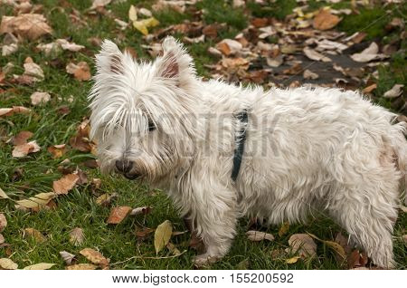 White scottish terrier closeup on fallen autumn leaves ground in park