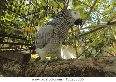 Gray parrot Jaco sitting on a tree branch next to his cell