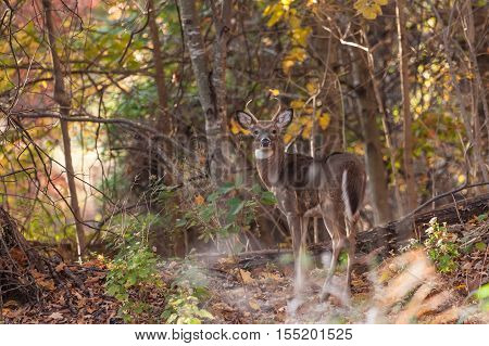Whitetailed Buck In Woods