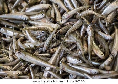Freshly caught mediterranean sand smelt fishes or Atherina boyeri from silverside family in the box on the counter at the fish shop. Mediterranean sand smelt fishes background. Horizontal. Top view.