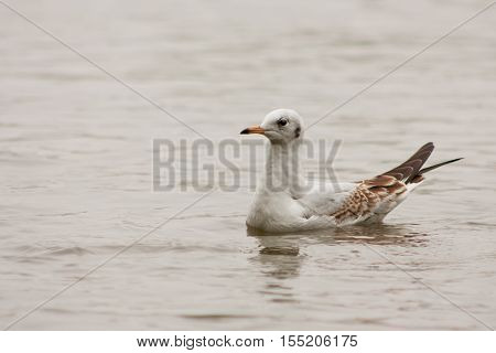 Seagull Floating On The Lake