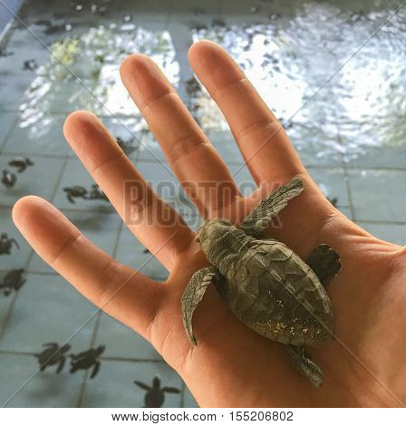 Small turtle in the man's hand. Sea turtle hatching. Water pool with swimming turtles on background. Start of new life. Birth of baby animal. Small and fragile newborn in care. Ocean sanctuary or zoo