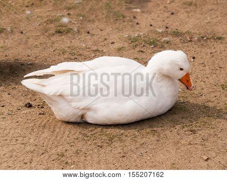 Domestic goose lying on backyard - Anser anser f.domesticus