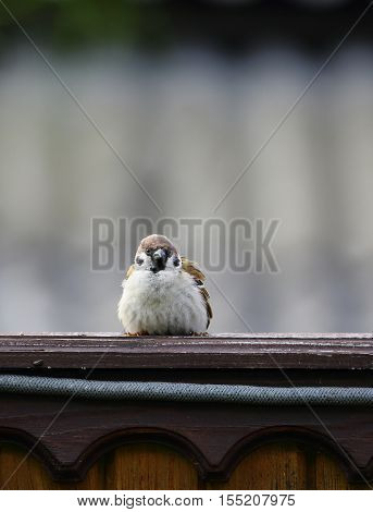 crafty Sparrow sitting on the fence in the summer.