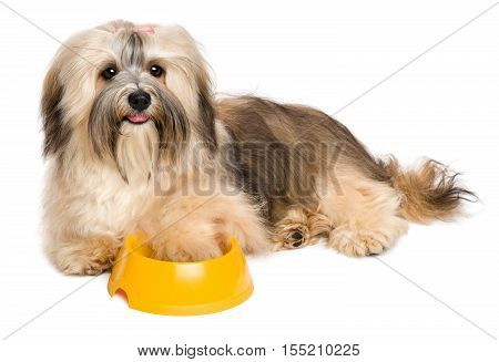 Happy Havanese puppy is asking dog food her hand is inside a yellow feeding bowl - isolated on white background