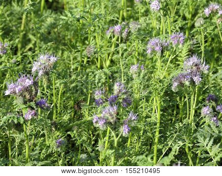 Field with Phacelia tanacetifolia plants on a warm day in early November - Selected focus narrow depth of field