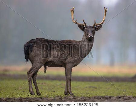 Dark Colored Male Fallow Deer