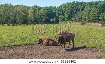 Bison grazing in the field of summer