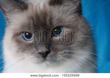 serious cat in studio close-up luxury cat studio photo blue background isolated