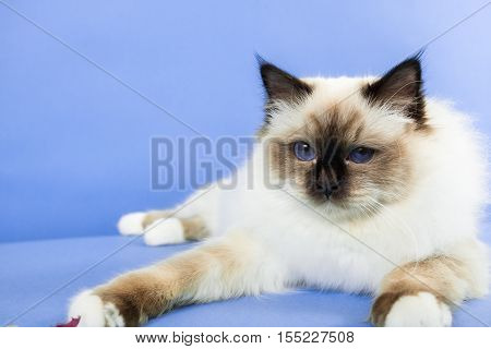 beautiful cat in studio close-up luxury cat studio photo blue background isolated