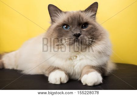handsome cat in studio close-up luxury cat studio photo black and yellow background isolated