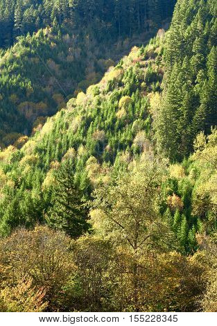 A hillside covered in evergreens with many other trees in their glorious fall colors.