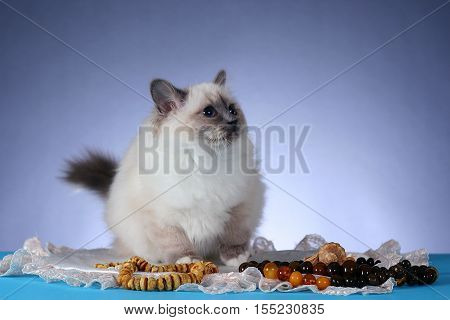 handsome cat in studio close-up luxury cat studio photo blue background isolated
