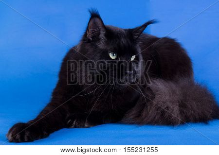 Maine Coon on a blue backgrounda huge black cat studio photo
