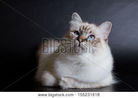 handsome cat in studio close-up luxury cat studio photo black background isolated