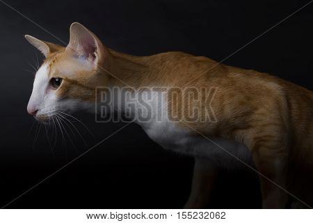 Oriental Cat Siamese breed black background in the studio