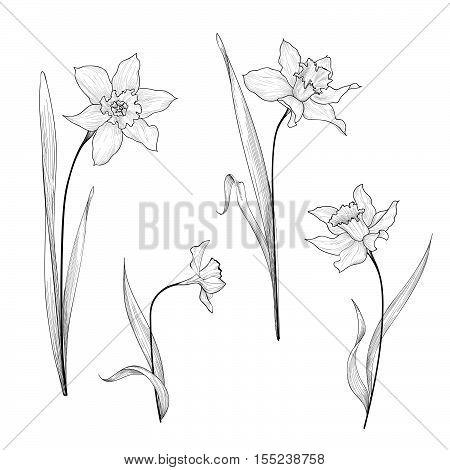 Floral bouquet etching set. Flower daffodil botanical engraving background. Floral ornamental design element for greeting card. Spring nature. Flourish garden sketch.