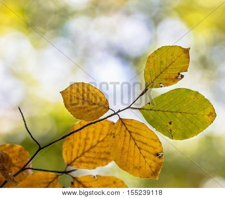 Colorful Autum Leaves Of Beech