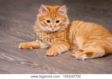 nice and fluffy little ginger kitten lying on the floor
