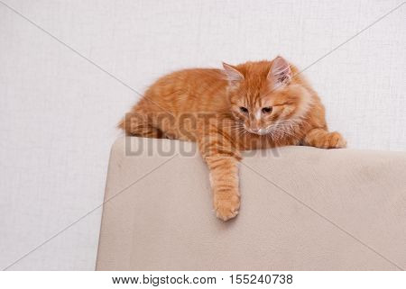 nice and fluffy little red kitten looking down