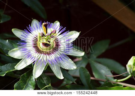 A close up view of the beautiful Passiflora Caerulea also known as Passion Flower