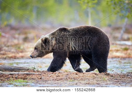 Beautiful brown bear walking in the taiga during a snowfall